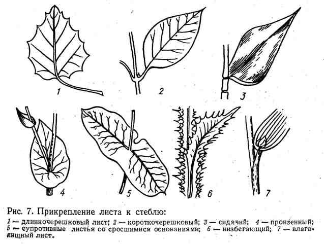 Прикрепление листа к стеблю