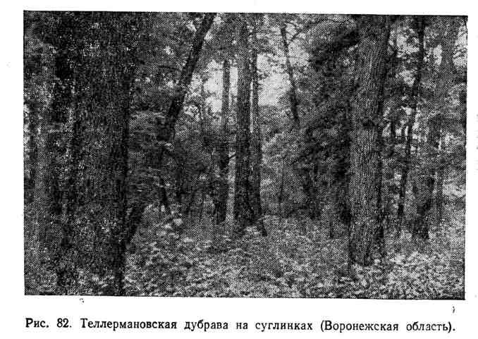 Теллермановская дубрава на суглинках