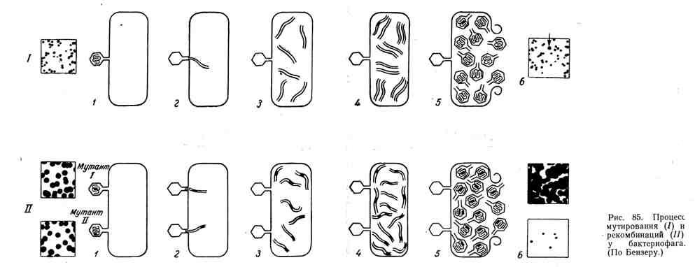 Процесс мутирования и рекомбинации у бактериофага