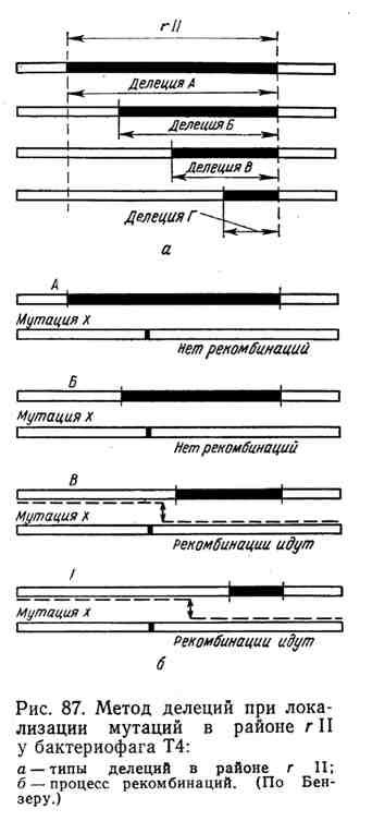 Метод делеций при локализации мутаций в районе R II у бактериофага Т4