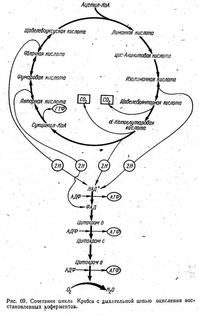 Сочетание цикла Кребаса с дыхательной цепью окисления восстановленных коферментов