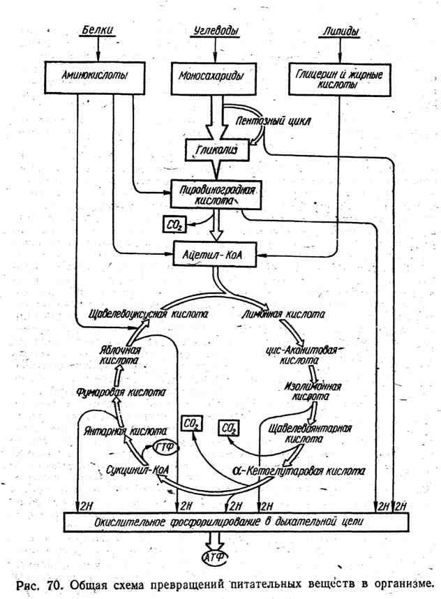 Общая схема превращений питательных веществ в организме