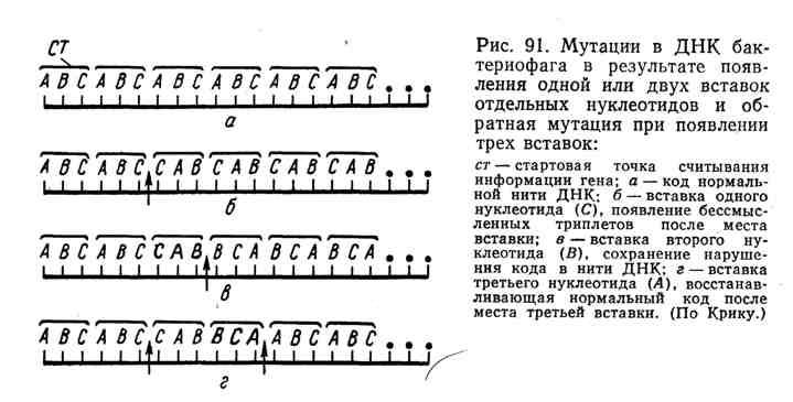 Мутации в ДНК бактериофага в результате появления одной или двух вставок отдельных нуклеотидов и обратная мутация при появлении трёх вставок
