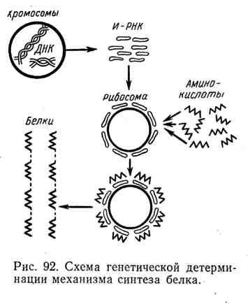 Схема генетической детерминации механизма синтеза белка
