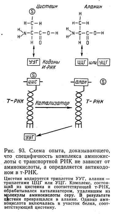 Схема опыта, доказывающего, что спецефичность комплекса аминокислот с транспортной РНК не зависит от аминокислоты, а определяется антикодоном в т-РНК