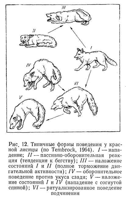 Типичные формы поведения у красной лисицы