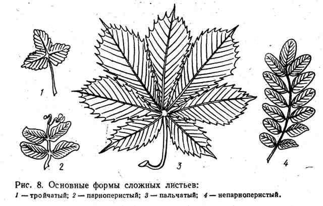 Основные формы сложных листьев