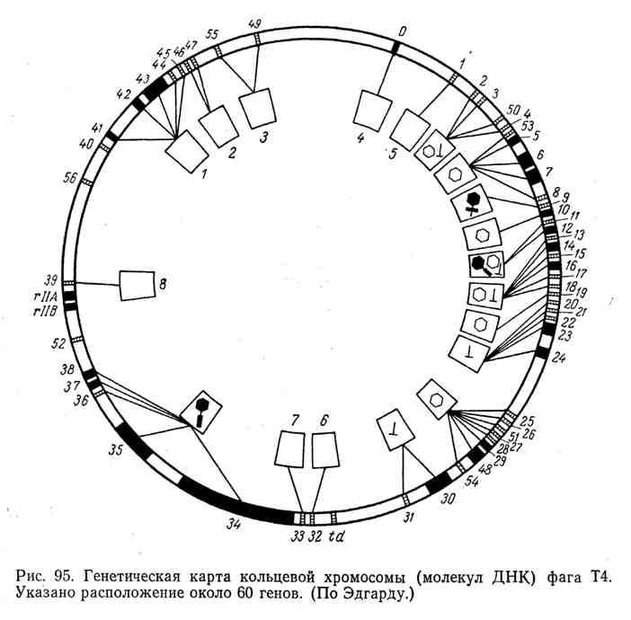 Генетическая карта кольцевой хромосомы (молекул ДНК) фага Т4