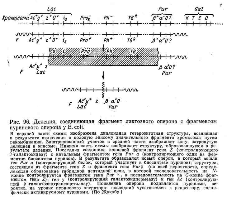 Делеция, соединяющая фрагмент лактозного оперона с фрагментом пуринового оперона у E. coli