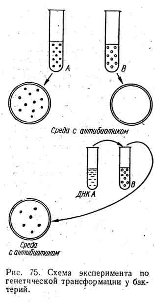 Схема эксперимента по генетической трансформации у бактерий
