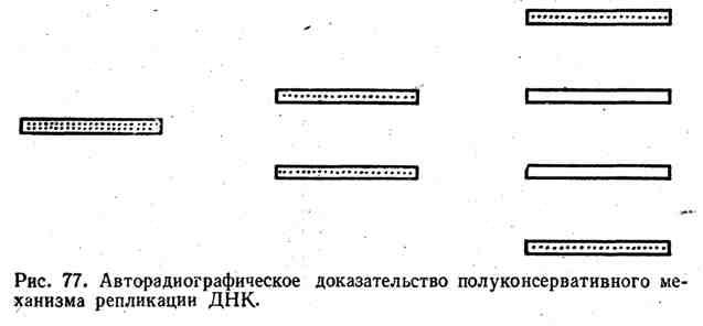 Авторадиографическое доказательство полуконсервативного механизма репликации ДНК