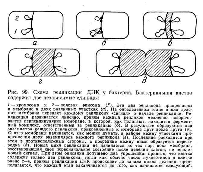 Схема репликации ДНК у бактерий