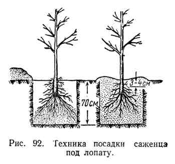 Техника посадки саженца под лопату