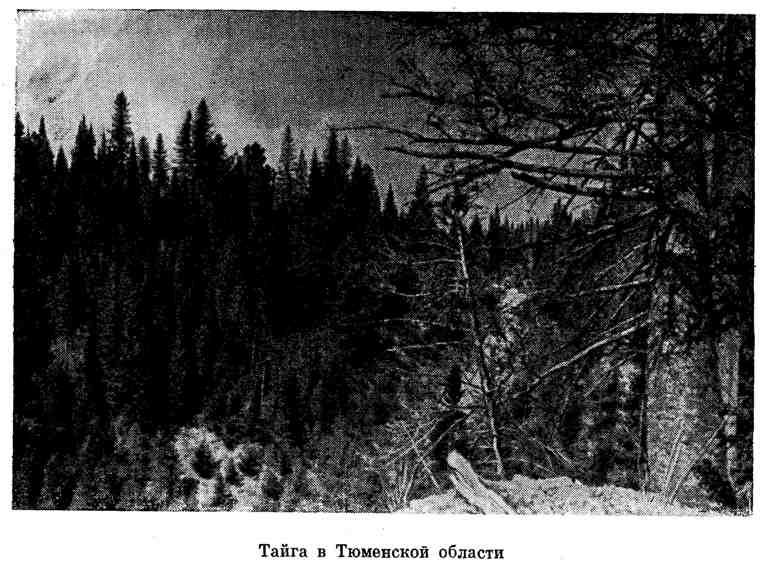 Тайга в Тюменской области
