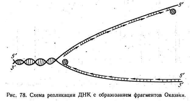 Схема репликации ДНК с образованием фрагментов Оказаки