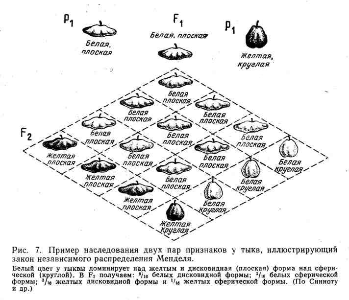 Пример наследования двух пар признаков у тыкв, иллюстрирующий закон независимого распределения Менделя