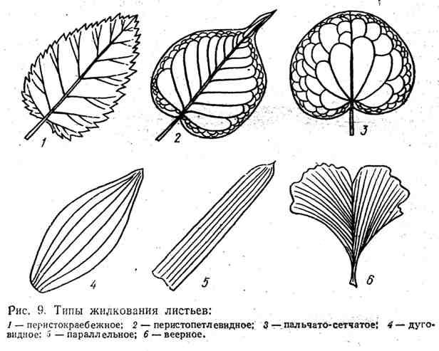 Типы жилкования листьев