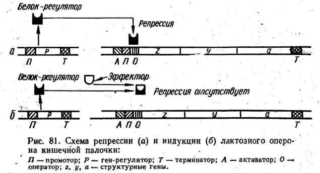 Схема репрессии и индукции лактозного оперона кишечной палочки