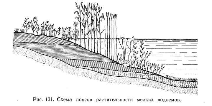 Схема поясов растительности мелких водоёмов