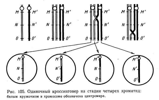 Одиночный кроссинговер на стадии четырёх хроматид