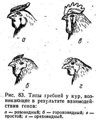 Типы гребней у кур, возникающие в результате взаимодействия генов