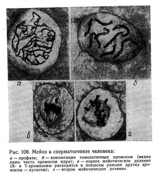 Мейоз в сперматогенезе человека