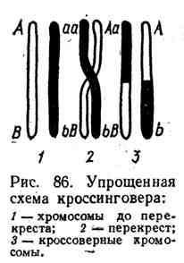 Упрощённая схема кроссинговера