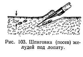 Шпиговка (посев) желудей под лопату