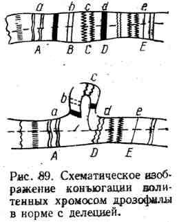Схематическое изображение конъюгации волитенных хромосом дрозофилы в норме с делецией