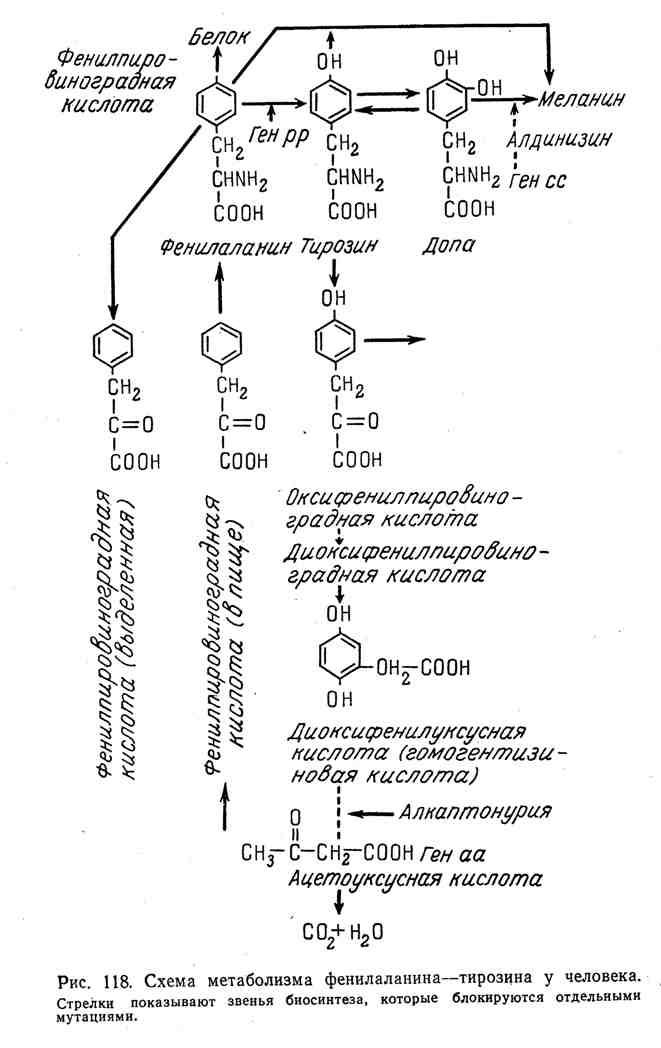 Схема метаболизма фенилаланина-тирозина у человека