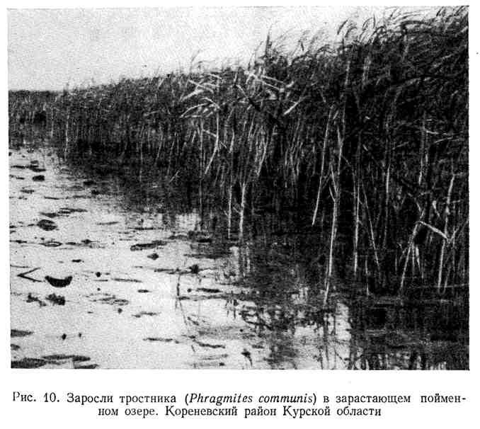Заросли тростника в зарастающем пойменном озере. Кореневский район Курской области