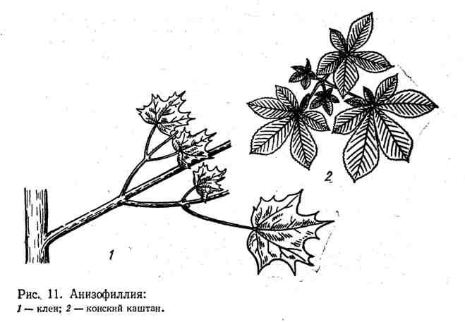 Анизофилия