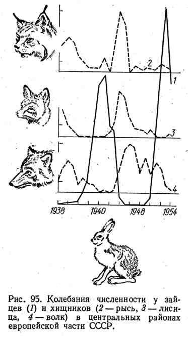 Колебания численности у зайцев и хищников в центральных районах европейской части СССР