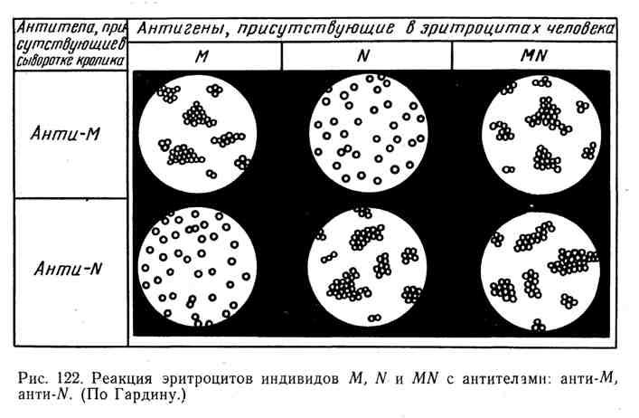 Реакция эритроцитов индивидов M, N и MN с антителами: анти-М, анти-N