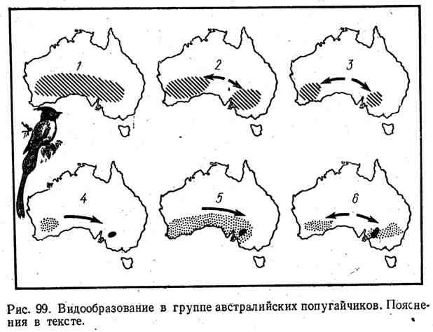 Видоразнообразие в группе австралийских попугайчиков
