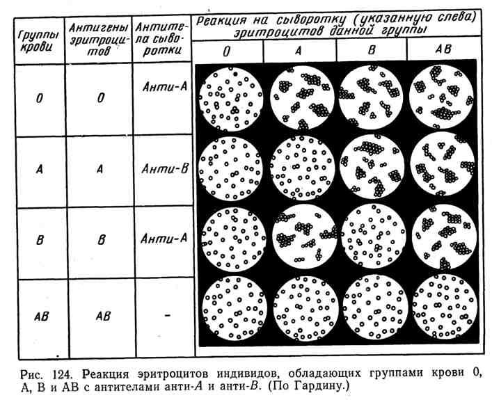 Реакция эритроцитов индивидов, обладающих группами крови 0, А, В и АВ с антителами анти-А и анти-В
