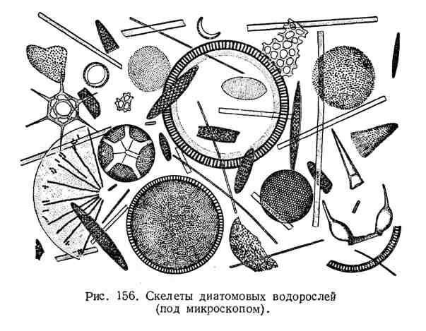 Скелеты диатомовых водрослей
