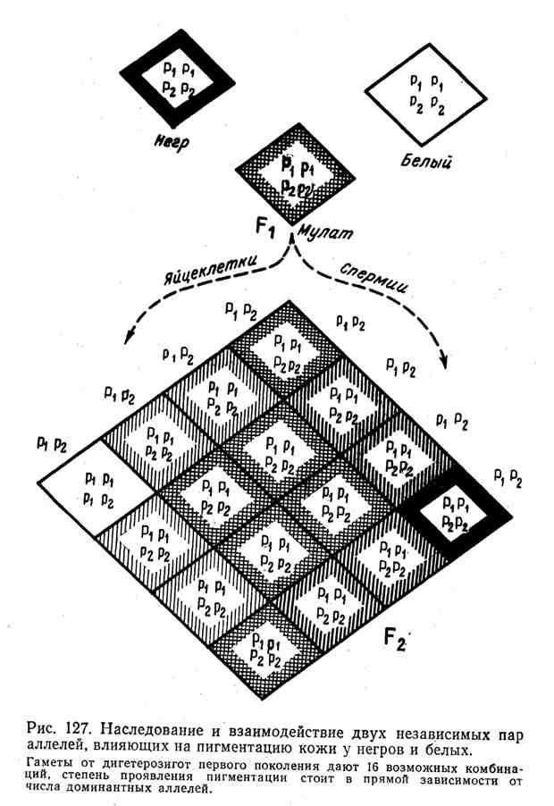Наследование и взаимодействие двух независимых пар аллелей, влияющих на пигментацию кожи у негров и белых