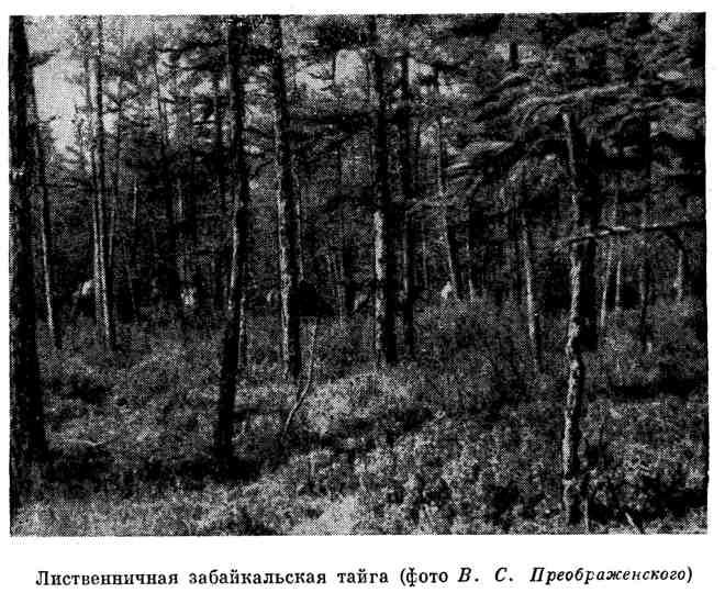 Лиственничная забайкальская тайга