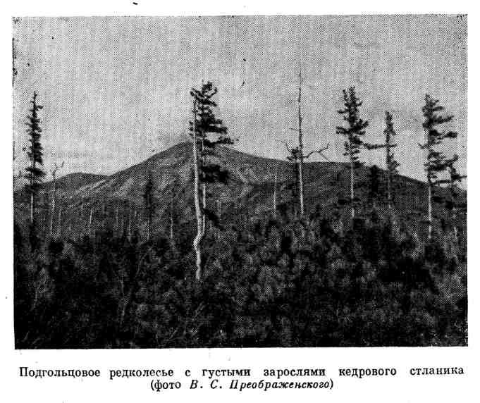 Подгольцовое редколесье с густыми зарослями кедрового стланика