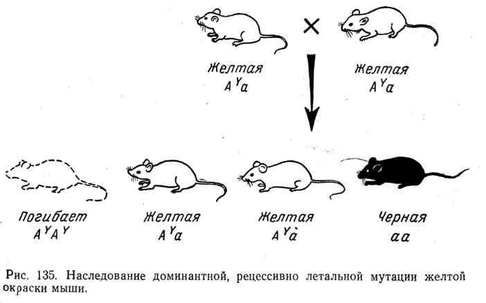 Наследование доминантной, рецессивно летальной мутации жёлтой окраски мыши