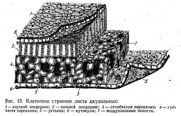Клеточное строение листа двудольных