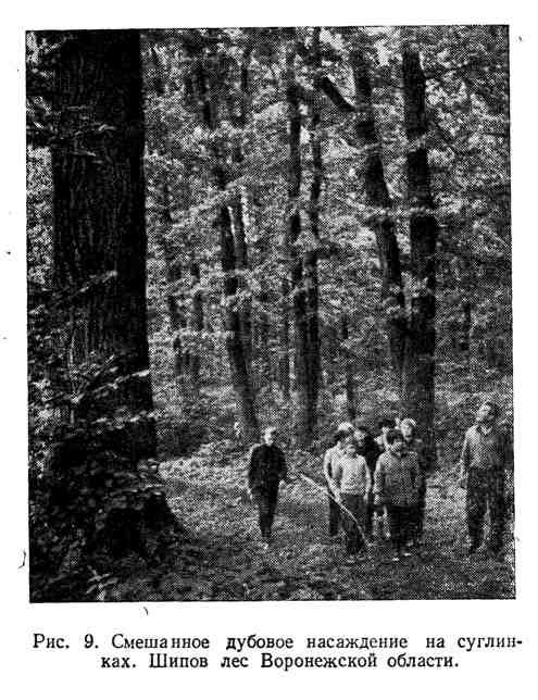 Смешанное дубовое насаждение на суглинках. Шипов лес Воронежской области