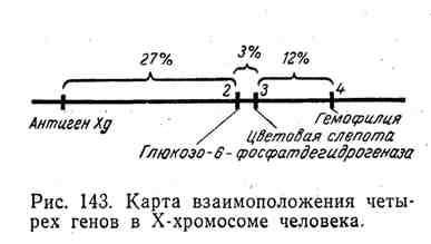 Карта взаимоположения четырёх генов в Х-хромосоме человека