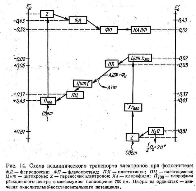Схема нециклического транспорта электронов при фотосинтезе