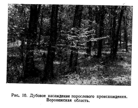 Дубовое насаждение порослевого происхождения. Воронежская область