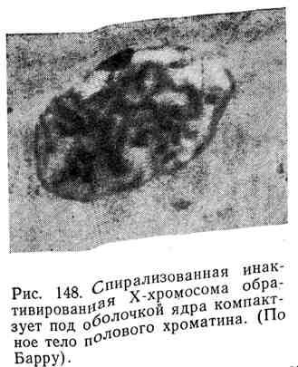Спирализованная инактивированная Х-хромосома образует под оболочкой ядра компактное тело полового хроматина