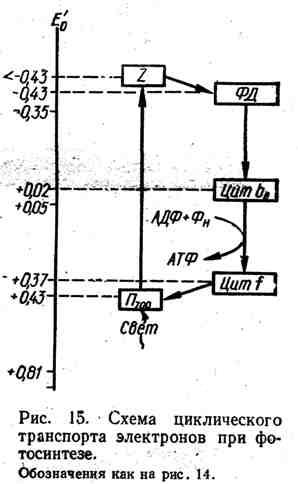 Схема циклического транспорта электронов при фотосинтезе