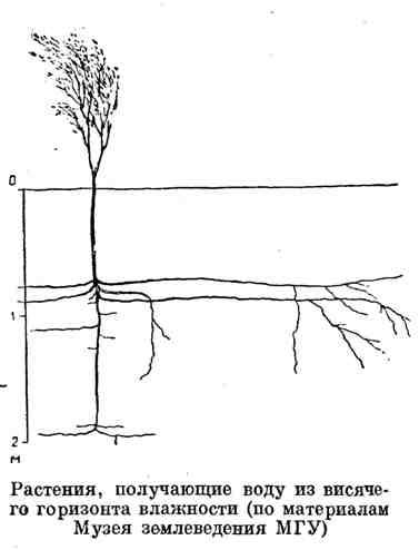 Растения, получающие воду из висячего горизонта влажности