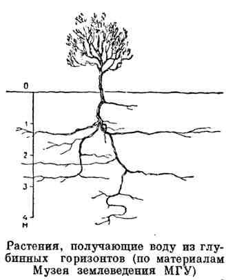 Растения, получающие воду из глубинных горизонтов